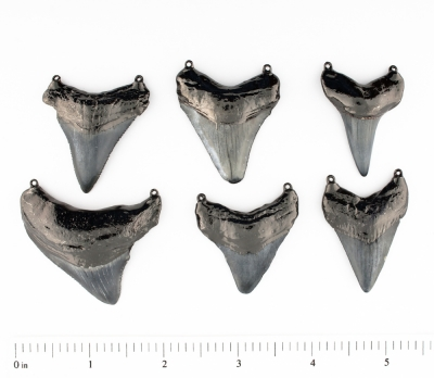 Megalodan Shark Teeth 2 Bails